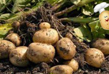 7 советов как увеличить урожай картофеля